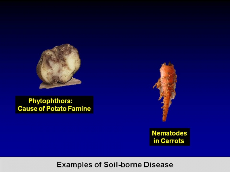 Chloropicrin treats and prevents both the cause of the potato famine and nematodes in carrots