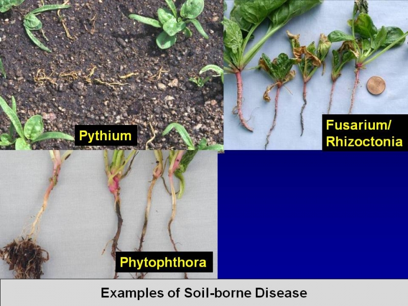Chloropicrin also prevents pythium, fusarium/rhizoctonia, and phytophthora