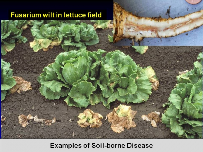 Fusarium wilt in a lettuce field that could have been prevented using chloropicrin